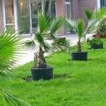 Пальмы в Анапе